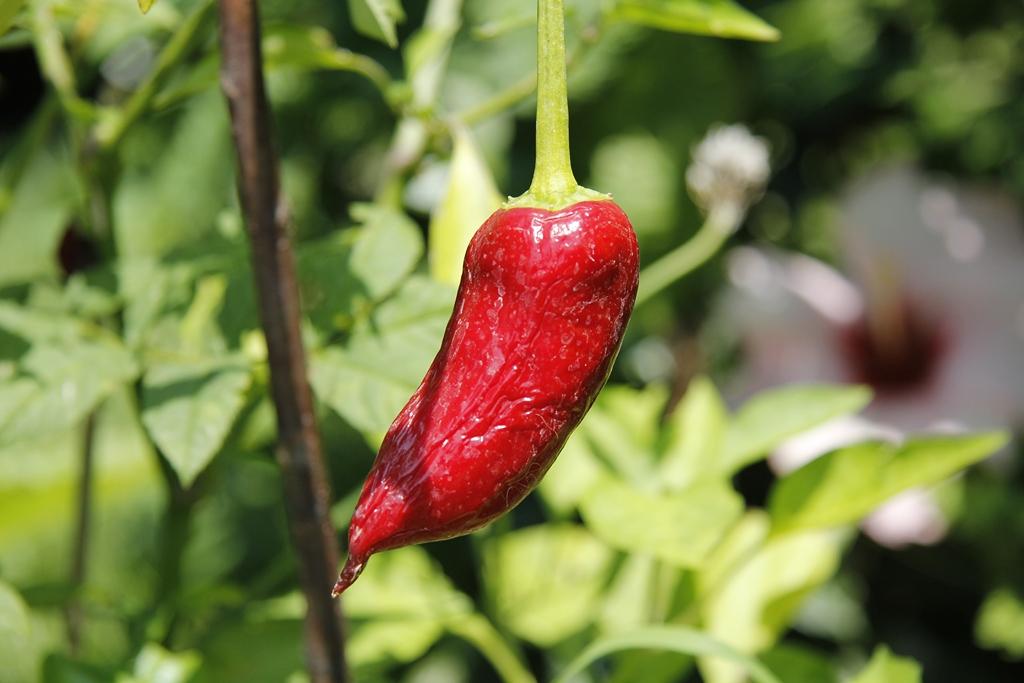 Coltiva i tuoi peperoncini