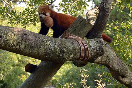 Panda rossi