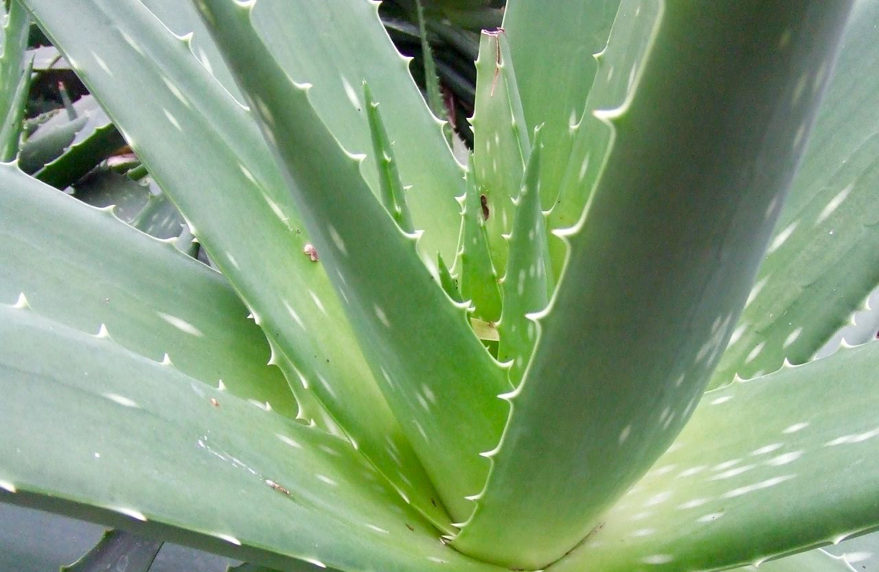 Gel di Aloe Vera fatto in casa